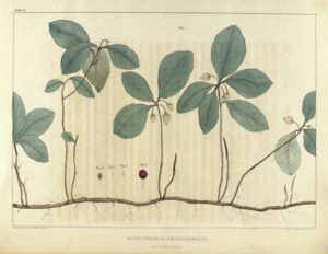 Illustration of leaves and small flowers, with an identifying caption below.