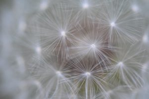dandelion seed hub and spoke