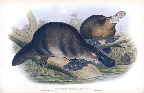 An illustration of 2 duck billed platypodes from John Gould - The mammals of Australia (1845-1863), via Wikimedia Commons.