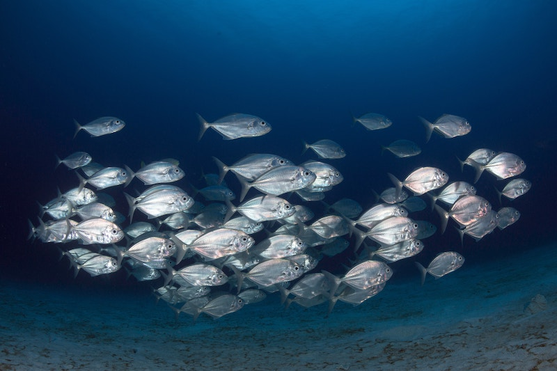 shoal of silvery fish