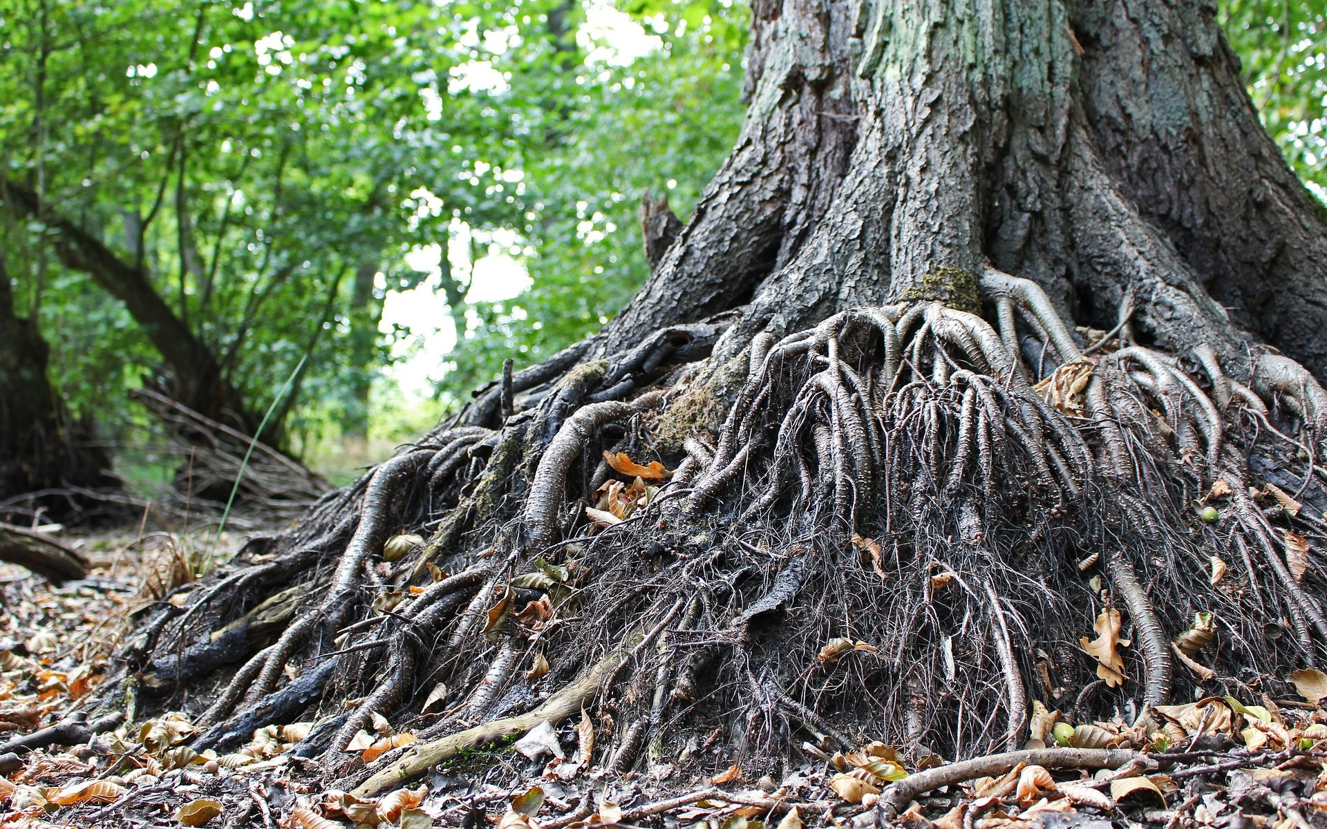 The base of an old tree, a tanlge of roots and fallen leaves