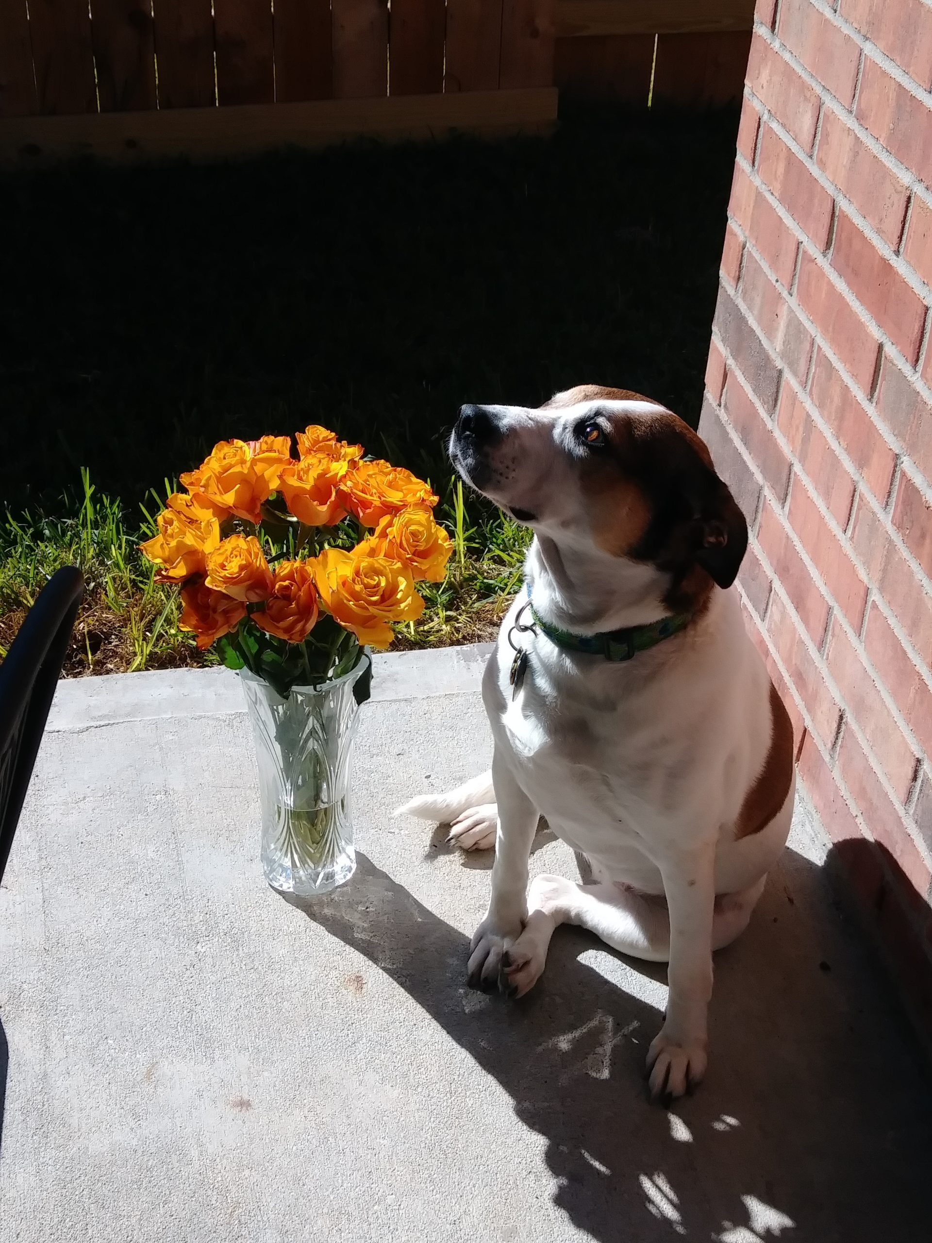 A brown and white dog sitting in the sunshine next to a vase of flowers.