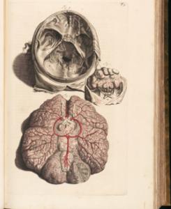 Skull, brain, and hand